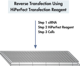 使用HiPerFect Transfection Reagent进行反向转染。
